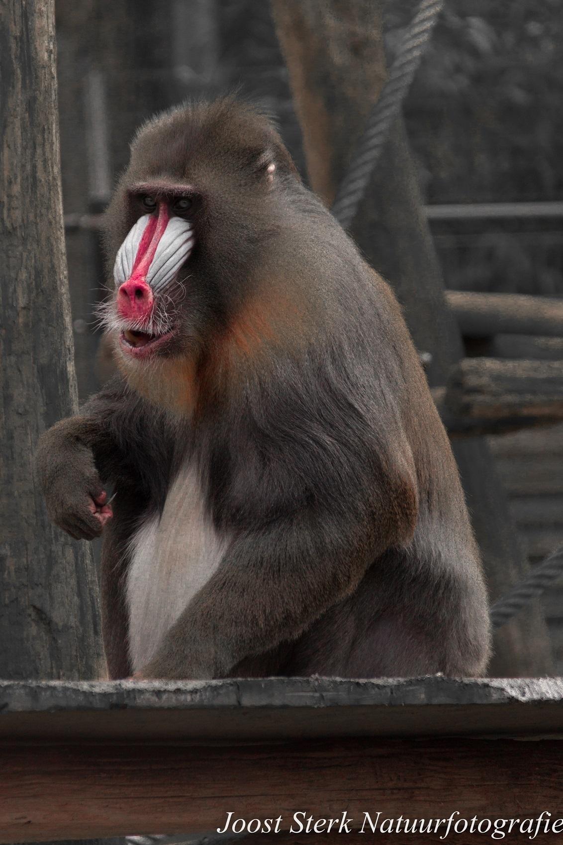 Mandril with a red nose - Deze foto is ook gemaakt in Ouwehands Dierenpark. - foto door joost-sterk op 14-06-2015 - deze foto bevat: dierentuin, natuur, aap, mandril
