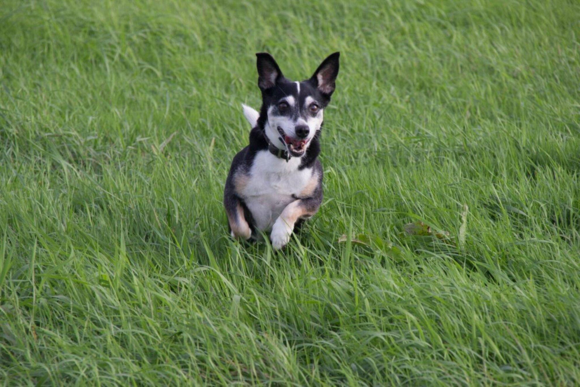 Speelse hond - Deze hond is al twaalf, maar als je haar zo ziet rennen...het is net als een speelse pup. - foto door liyensiaw op 26-09-2013 - deze foto bevat: gras, hond, pup, speels - Deze foto mag gebruikt worden in een Zoom.nl publicatie