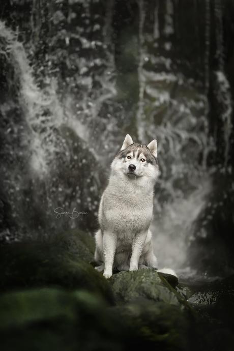 Husky bij de waterval