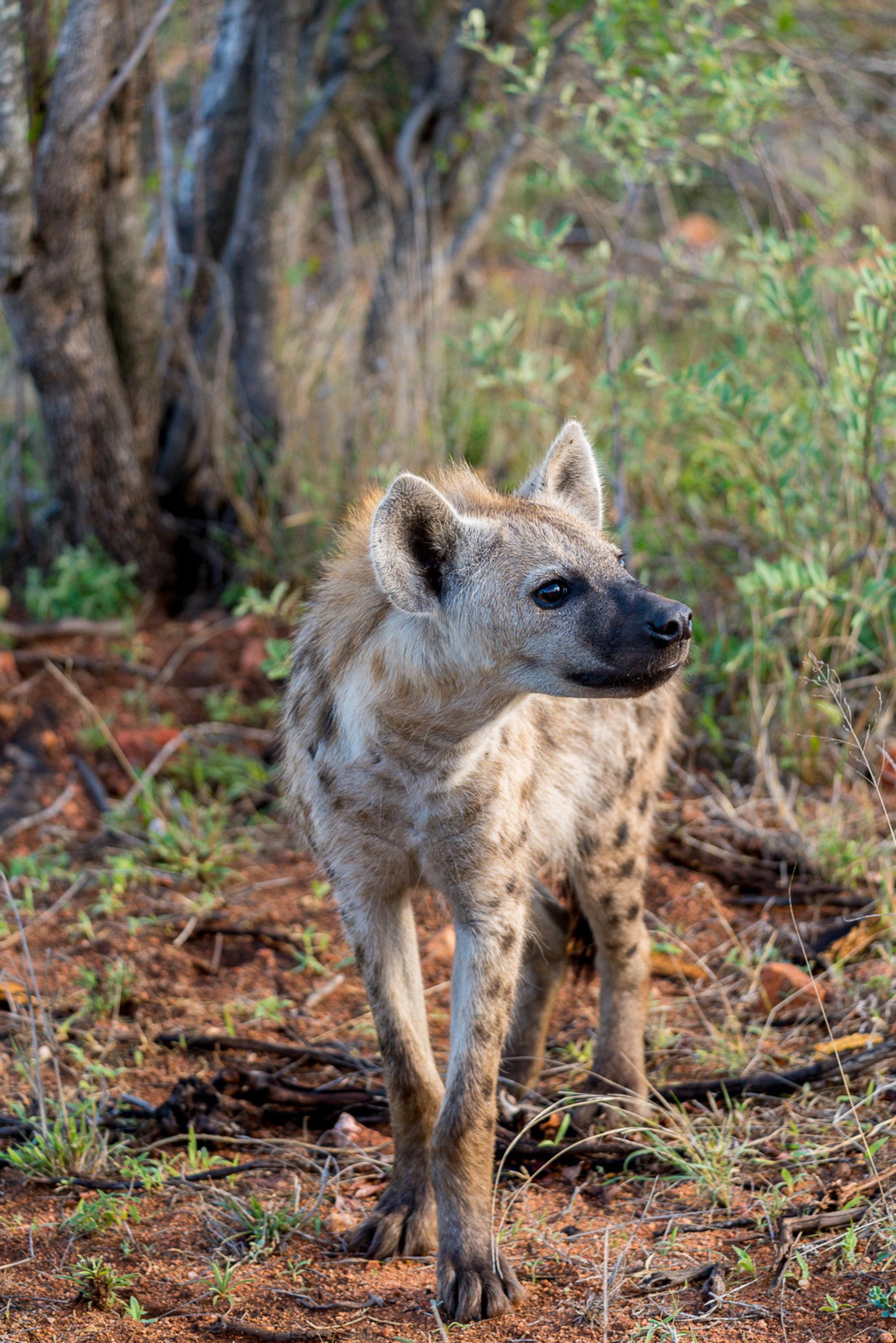 Gevlekte Hyena - - - foto door markdv77 op 14-07-2018 - deze foto bevat: hyena, zuid afrika, gevlekte hyena