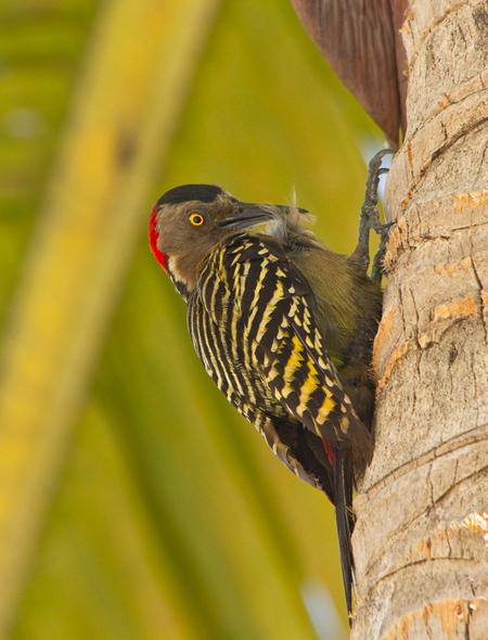 Hispaniolaspecht (Dominicaanse Republiek) - - - foto door gras4711 op 29-05-2015 - deze foto bevat: natuur, specht, dieren, safari, vogel, wildlife, caribean, Dominicaanse Republiek, hispaniola