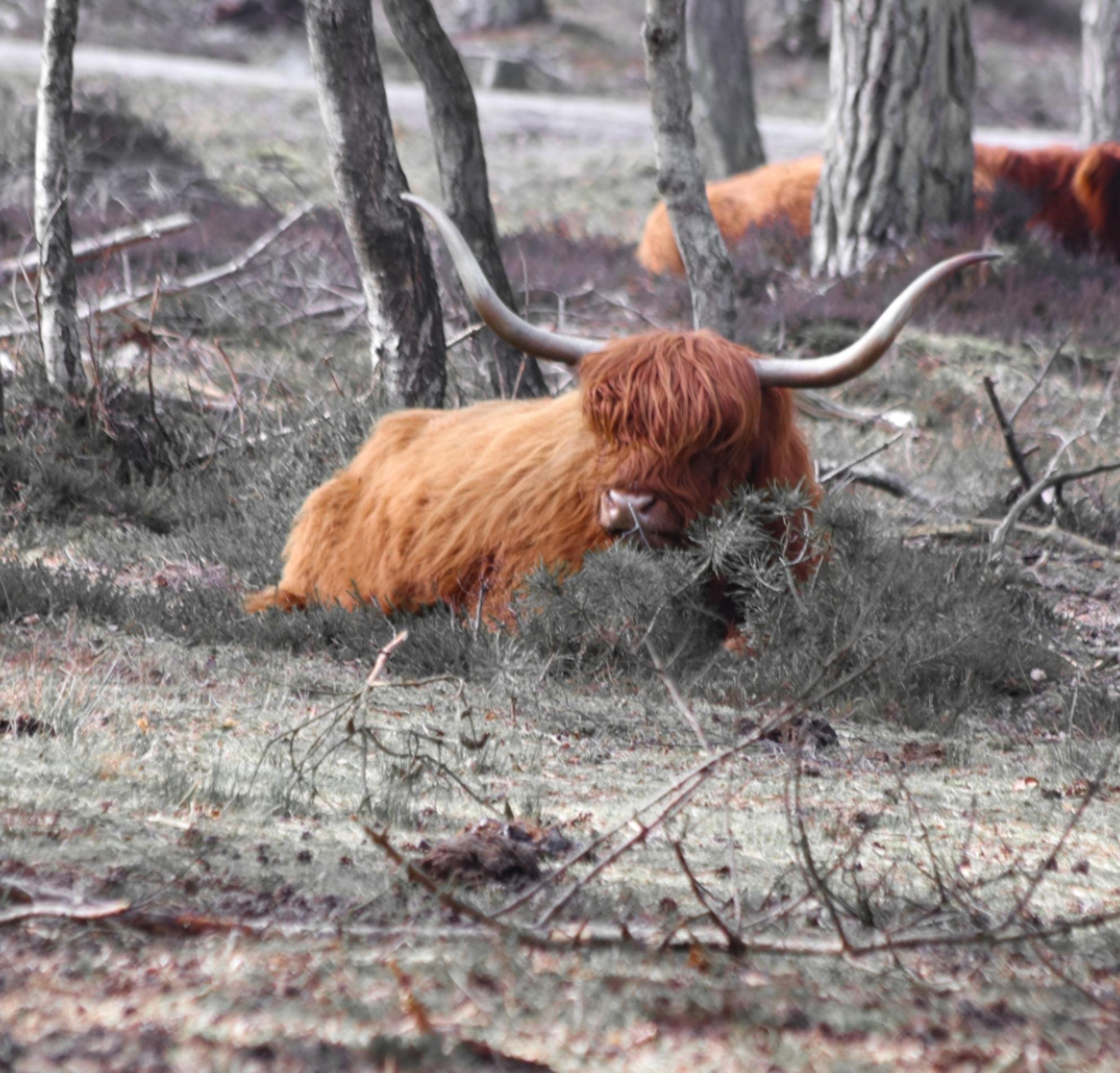 Schotse Hooglander - - - foto door Erikvdzwan op 28-02-2021