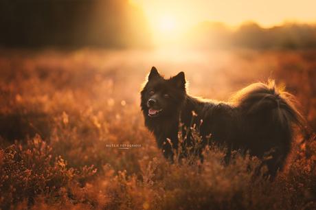 Hond op de heide