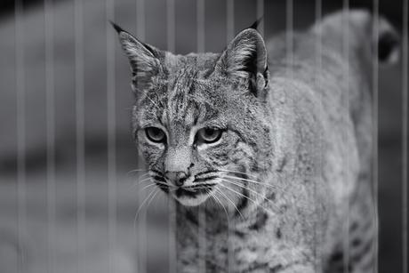 Rode Lynx in Desert Burgers' Zoo