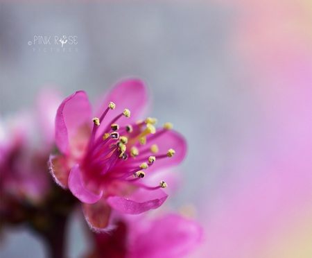 Pink! - Pink! Dank voor de mooie reacties bij de vorige upload. Deze foto is gemaakt in de moestuin van Kasteel Groeneveld, Baarn. Ook daar is de lente voor - foto door PinkRosePictures op 31-03-2021 - deze foto bevat: roze, macro, bloem, natuur, dof
