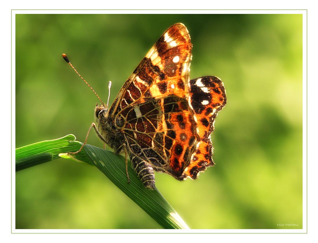 vlinder - Hallo... eindelijk is er eens eentje gelukt...man wat is het moeilijk om een vlinder goed te fotograferen...hier ben ik toch redelijk blij mee, toch - foto door smeagol op 23-05-2009 - deze foto bevat: macro, vlinder, s5, smeagol, 250d