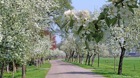 Perenbomen in bloei