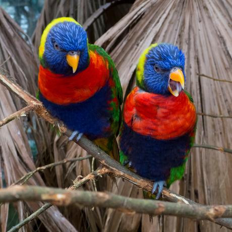 Rainbow Lories