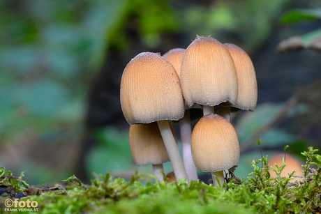 paddenstoeltjes