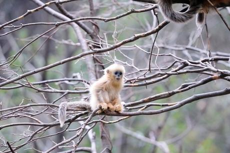 Jonge Gouden stompneus aap