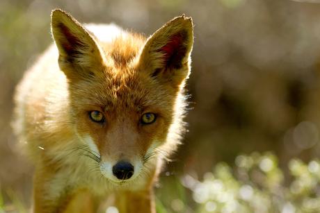 Fox & sparkles