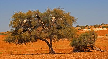 Geitjes in Arganboom (Marokko)