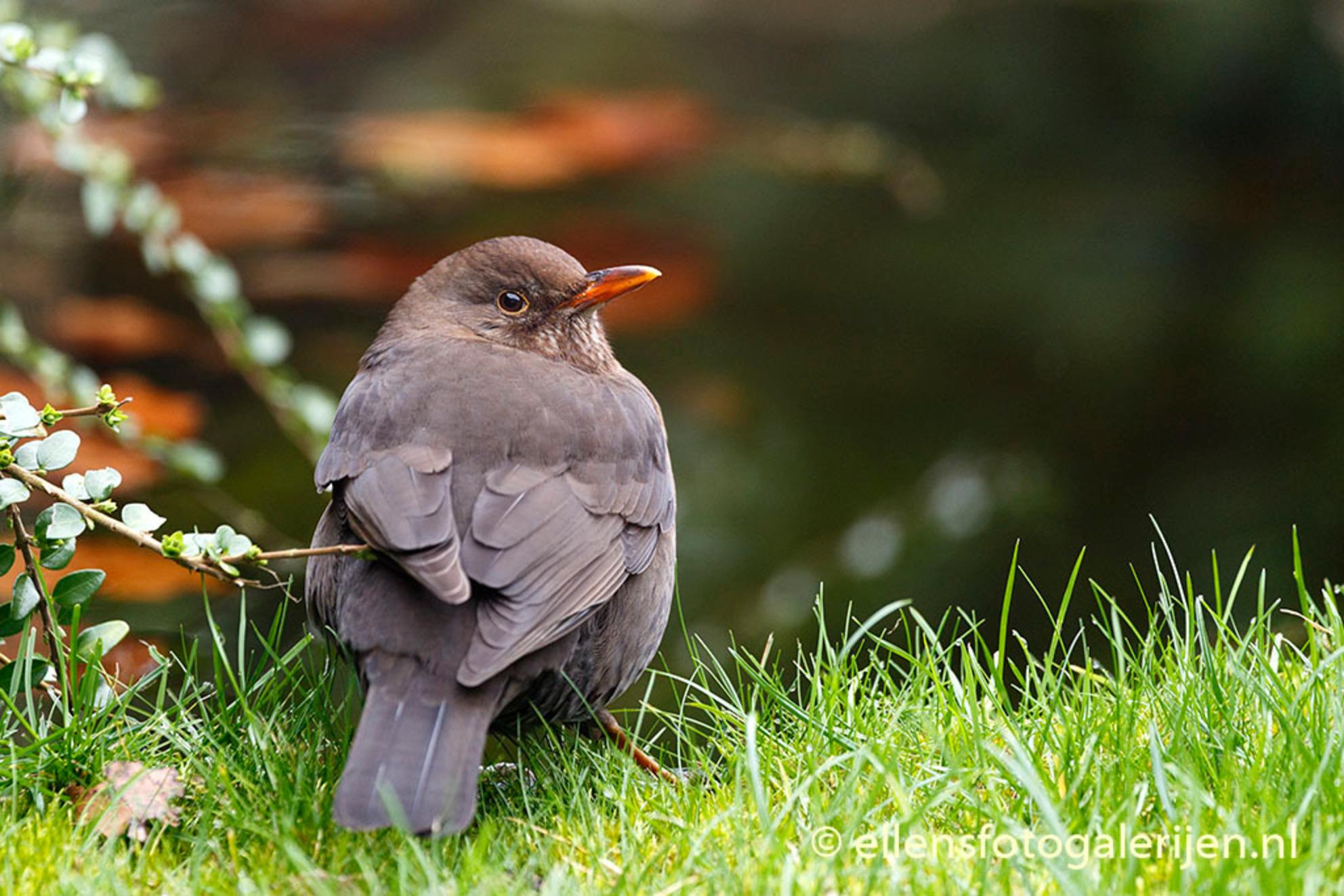 Alert Merelvrouwtje - Deze dame is al druk met het bouwen van een nest. Rust hier even uit bij de vijver maar blijft bijzonder alert. - foto door ellen-zeist op 17-02-2014 - deze foto bevat: merel, vogel