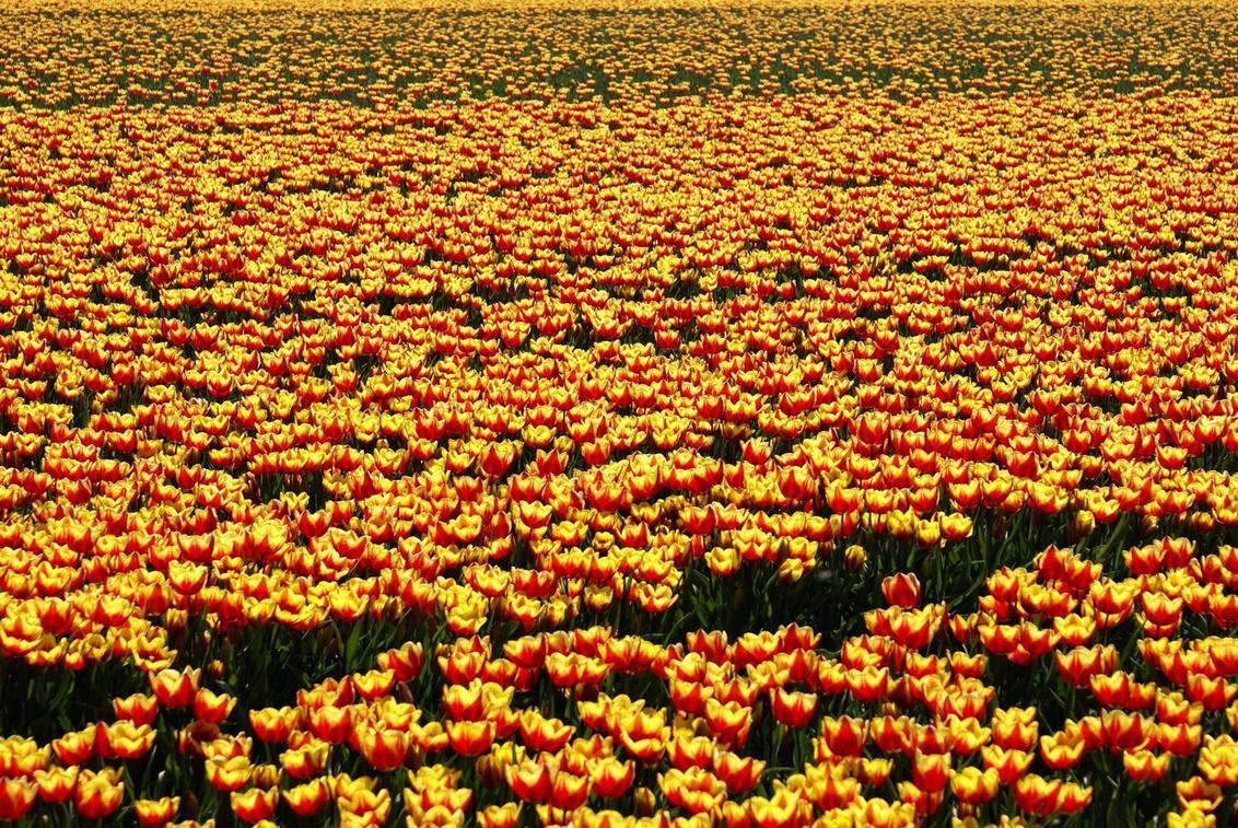 Een tulpje iemand? - - - foto door MarijeScheening op 10-08-2017 - deze foto bevat: groen, zon, bloem, lente, natuur, geel, licht, tuin, tulp, blad, zomer, voorjaar, nederland