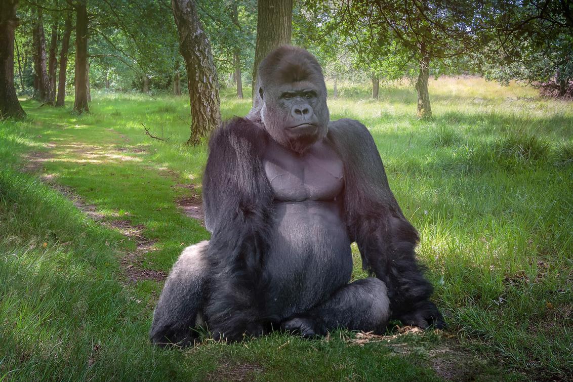 Thou shall not pass! - Gorilla uit Kerkrade op de hei in Boxtel. - foto door RobMenting op 28-11-2017 - deze foto bevat: natuur, bewerkt, landschap, bewerking, photoshop, manipulatie
