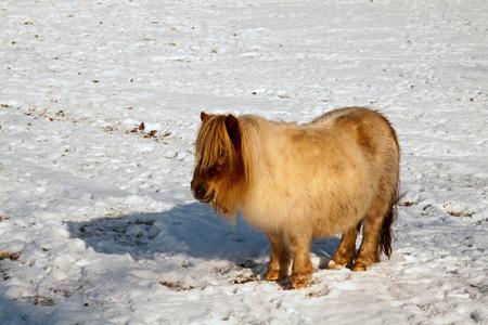 Winterpony - Het zijn barre tijden, ook voor de dieren. Volgens de boer hebben ze er geen enkel probleem mee, de kou deert ze niet. Toch bleef deze pony onbeweegl - foto door kosmopol op 06-02-2012 - deze foto bevat: sneeuw, pony, koud, kosmopol
