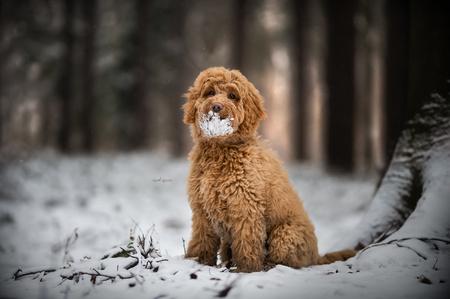 Rocky - Puppy Rocky, labradoodle - foto door ElsDecoodtPhotography op 01-03-2021 - deze foto bevat: sneeuw, hond, honden, dog, puppy, pup, puppies, dogs, labradoole