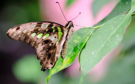 Groene stippen vlinder 2