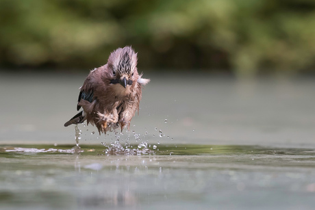 springende vogel