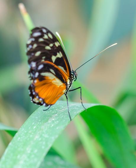 Opranje Vlinder