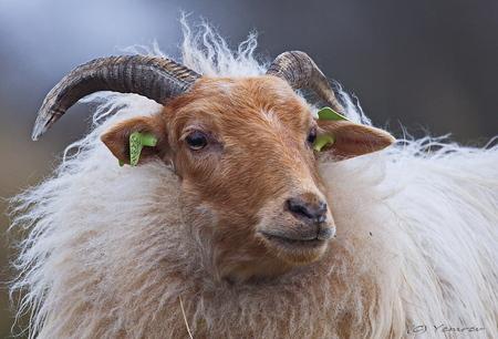Drents Heideschaap - Portret van een Drents Heideschaap. Een kudde loopt rond in de Amsterdamse WaterleidingDuinen. Voorzien van oerlelijke oormerken, dus of dit echt 'na - foto door yemrev op 09-03-2015 - deze foto bevat: natuur, dieren, heide, duinen, nederland