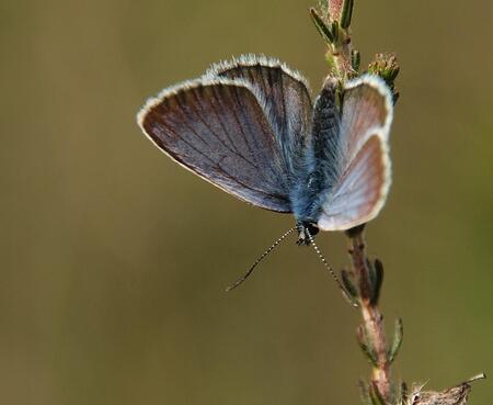 Heide blauwtje van een andere kant - Heide blauwtje van een andere kant, ze moest zich staande houden in de wind. - foto door Duckie_zoom op 19-06-2011 - deze foto bevat: macro, vlinder, blauwtje, heide