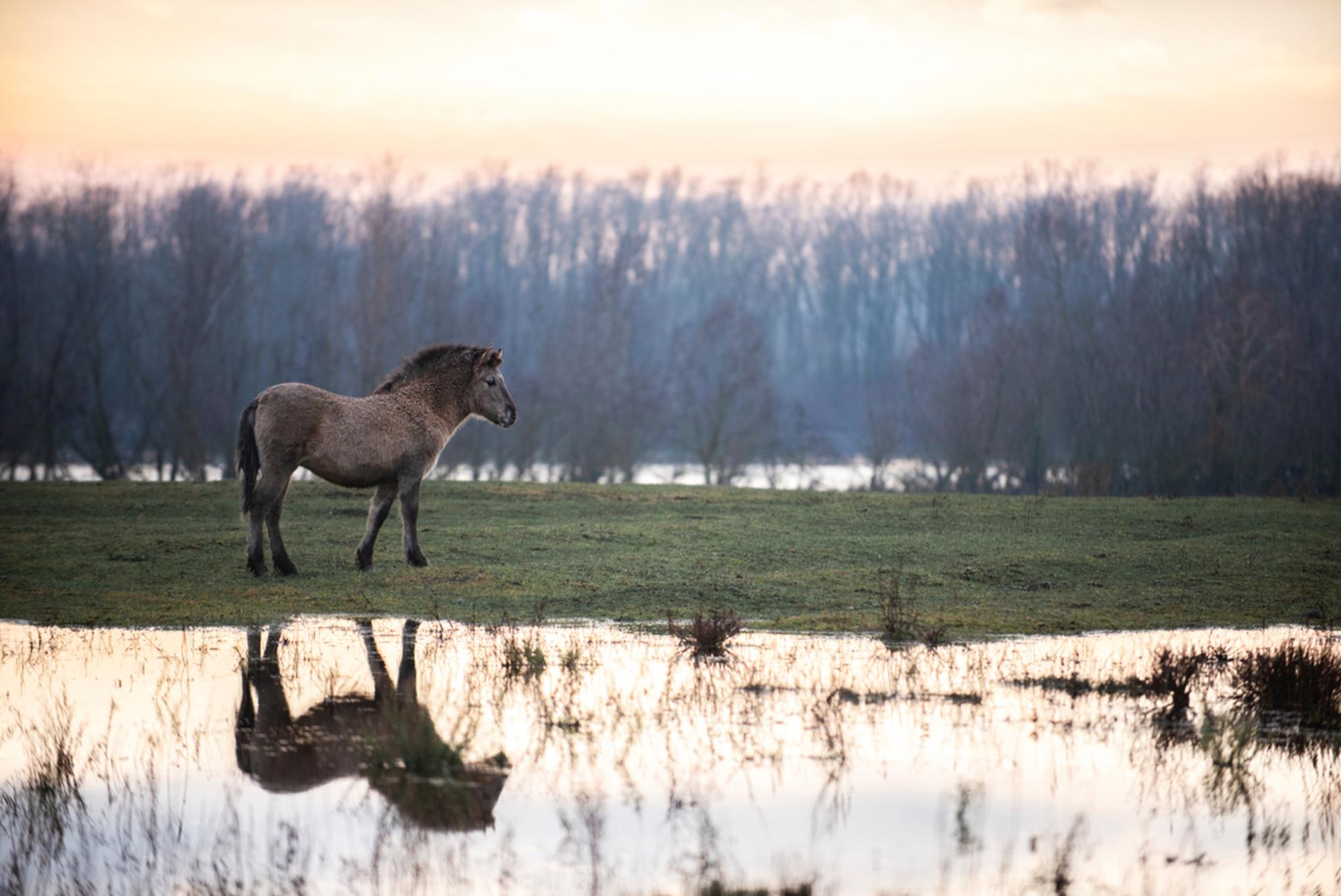 Reflections - In een natuurgebied aan de maas in Limburg staat een kleine kudde van koninkspaarden. Deze paarden leven in een 'wilde' kudde. Na een regenachtige pe - foto door Daniqueotten op 12-01-2021 - deze foto bevat: water, natuur, regen, paard, zonsondergang, reflectie, landschap, kudde, plas, koningspaard, wilde paarden - Deze foto mag gebruikt worden in een Zoom.nl publicatie