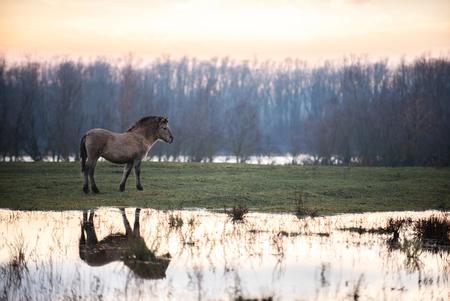 Reflections - In een natuurgebied aan de maas in Limburg staat een kleine kudde van koninkspaarden. Deze paarden leven in een 'wilde' kudde. Na een regenachtige pe - foto door Daniqueotten op 12-01-2021 - deze foto bevat: water, natuur, regen, paard, zonsondergang, reflectie, landschap, kudde, plas, koningspaard, wilde paarden