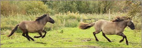 Konikpaarden Oostvaardersplassen IV