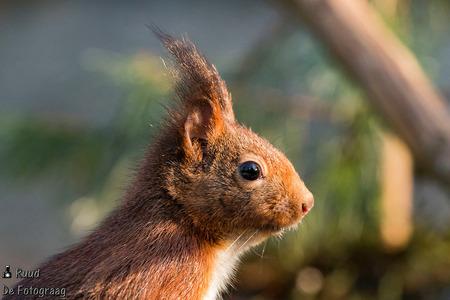 Eekhoorn - Portretje van een eekhoorn - foto door Ruud73 op 12-07-2018 - deze foto bevat: dieren, eekhoorn, wildlife, ruud de fotograag