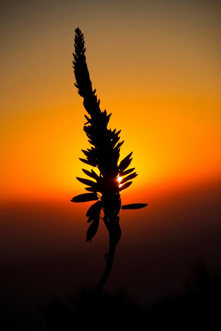 Aloë bij zonsopkomst - - - foto door candy881018 op 31-07-2015 - deze foto bevat: zon, bloem, lente, natuur, geel, tegenlicht