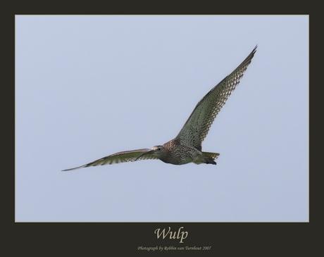 Wulp (2)