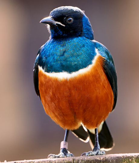 Kleurvolle spreeuw