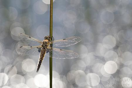 Lekker opwarmen in de zonnestraaltjes - het mooie zachte zonlicht dat weerkaatste in het poeltje gaf dit mooie resultaat in de BG, wat tegenlicht gegeven met een reflexschermpje op de libel - foto door mgtf op 28-07-2016 - deze foto bevat: macro, blauw, zon, water, natuur, druppel, licht, libel, tegenlicht, zomer, insect, dauw, dof, bokeh