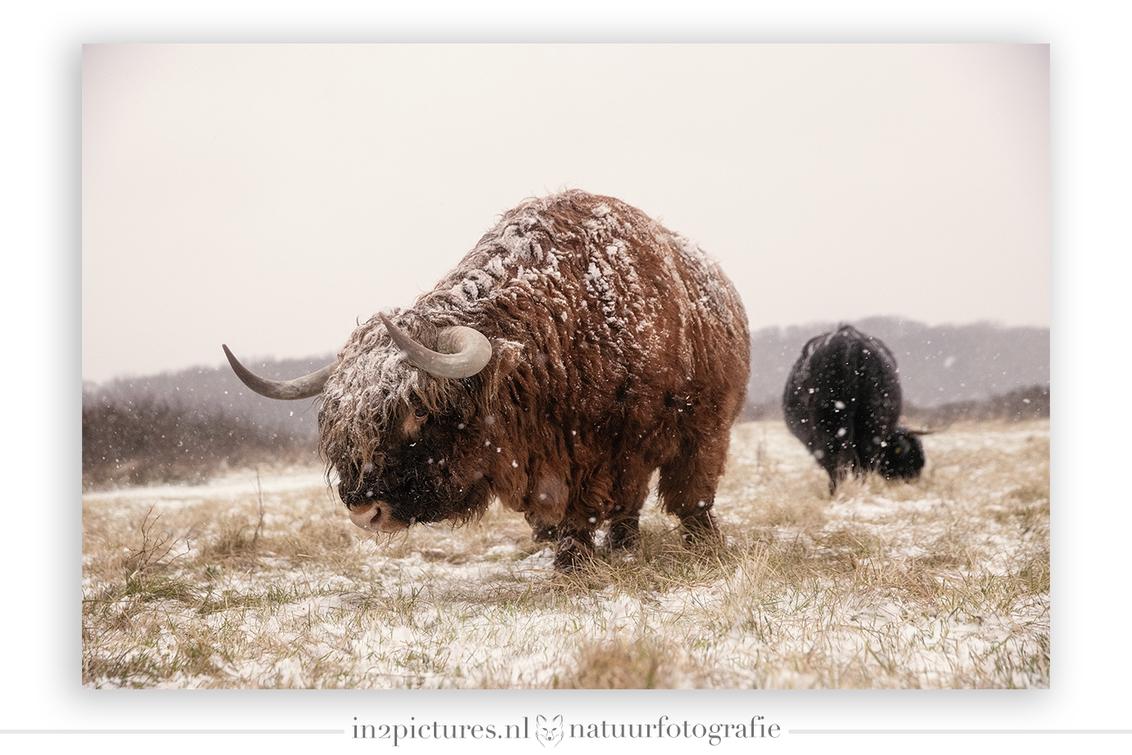 """Jentle Giant - De titel is misschien misleidend. Want """"Jentle"""" was deze zeker en de kudde was op dit moment super relaxt, waardoor ik iets dichterbij kon komen dan  - foto door in2picturesnature op 28-01-2021 - deze foto bevat: natuur, sneeuw, winter, dieren, hooglander, koud, groothoek, lentevreugd, vervorming, horens, schotse hooglander"""