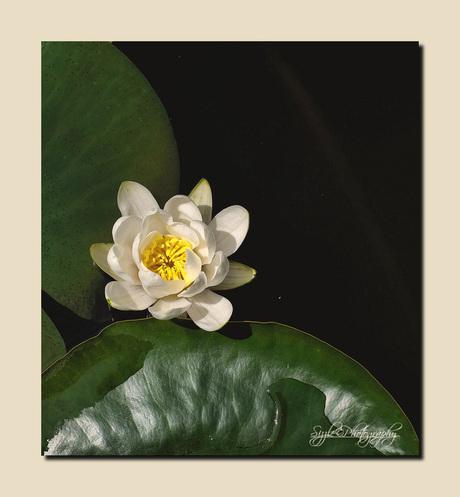 Witte waterlelie (Nymphaea alba)2