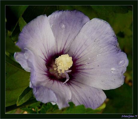 1e Hibiscus