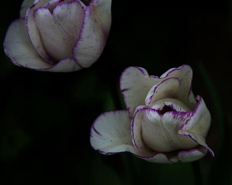 tulp paars.jpg