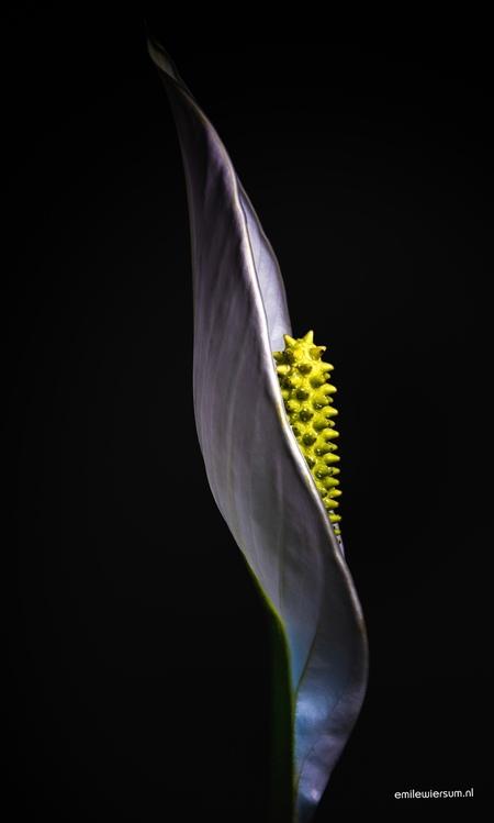 spathiphyllum - - - foto door emilewiersum op 08-12-2017 - deze foto bevat: groen, macro, bloem, lente, geel, licht, herfst, orchidee, tuin, zwart
