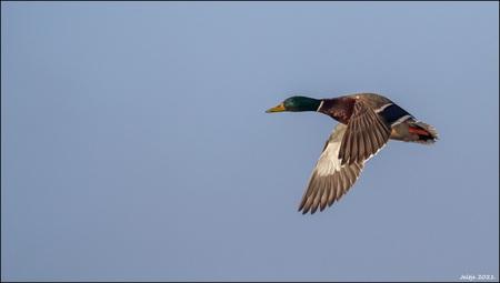 Eend. - - - foto door ikjel op 03-03-2021 - deze foto bevat: lucht, natuur, dieren, vogel, eend