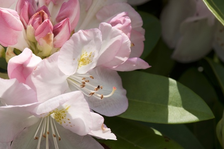 Rododendron - - - foto door alex123456 op 31-05-2017 - deze foto bevat: macro, zon, bloem, tuin, zomer, nederland