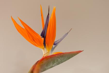 Paradijsvogelbloem - Ook wel vogelkopbloem genoemd, oorspronkelijk uit Zuid Afrika. De naam van deze kleurrijke bloem is gegeven vanwege de gelijkenis met een paradijsvo - foto door Santakees op 02-02-2021 - deze foto bevat: kleur, macro, bloem, vogel, paradijsvogel, paradijsvogelbloem, strelitzia, vogelkopbloem