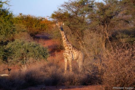 Zuidelijke giraffe (Giraffa giraffa synoniem Giraffa camelopardalis giraffa)