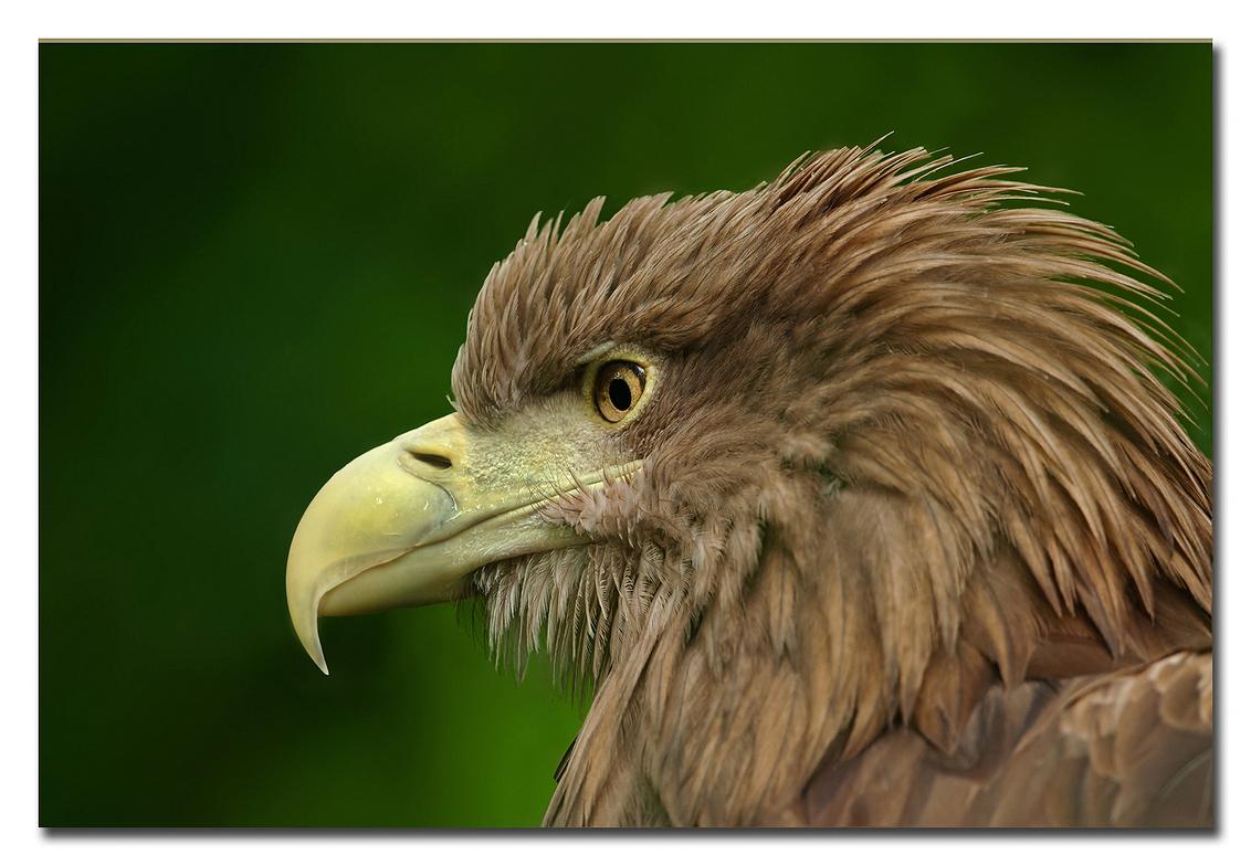 Arend - ter afsluiting van het fotoclub seizoen was er gekozen om naar Burgers Zoo te gaan waar deze arend een opname van is!  Effies in het groot bekijken - foto door Anna Rass op 16-06-2015 - deze foto bevat: dierentuin, vogel, zeearend