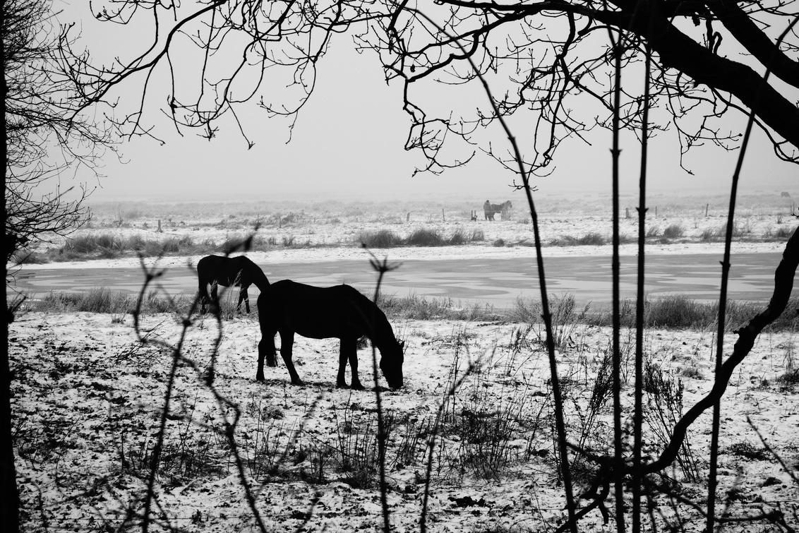 Silhouette - Markiezaatsmeer - Winters plaatje, genomen aan Markiezaatsmeer nabij Bergen op Zoom. Zwartwit foto om de silhouettes te accentueren. - foto door Krulkoos op 12-01-2017 - deze foto bevat: paarden, winter, paard, silhouette, koud, zwartwit, sfeer, monochroom, markiezaatsmeer, silhouettes, z/w, Bergen op Zoom, Brabantse wal, rx100, maurice weststrate