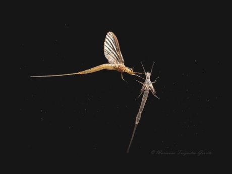 Eendagsvlieg (Haft)