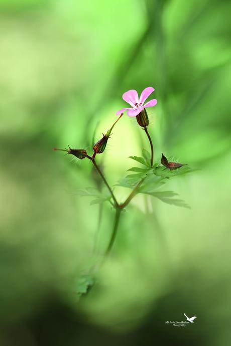 Forest flower (Wilde geranium)