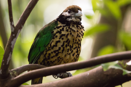Witoorkatvogel in de Bush