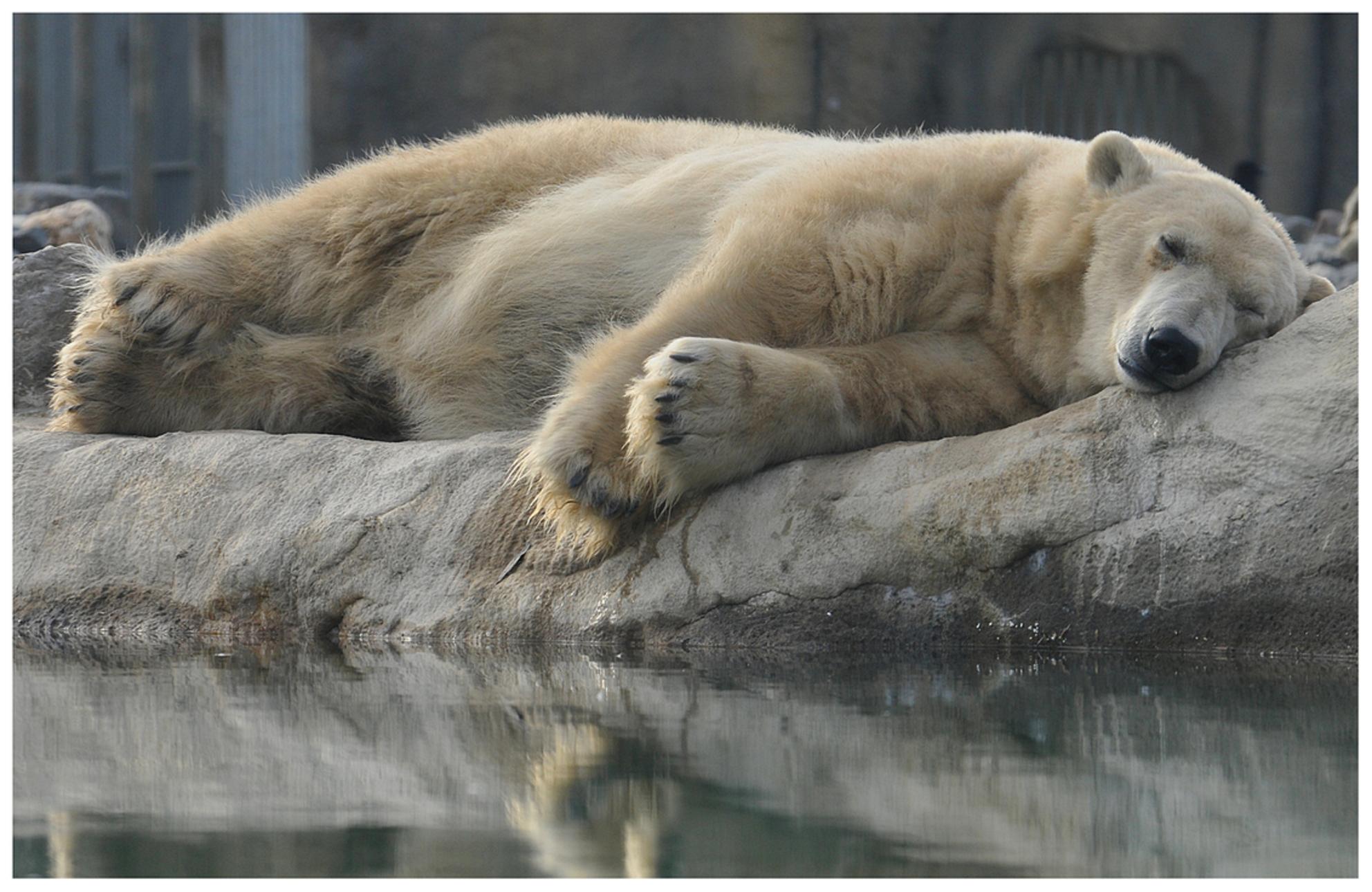 Let sleeping bears sleep.. - Dit geldt ook voor honden:D   Een soortgelijke opname plaatste ik als eens eerder. Deze is net even beter denk ik. - foto door rudy-rudy op 28-11-2013 - deze foto bevat: rotterdam, dierentuin, winter, ijsbeer, koud, beer, slapen, blijdorp - Deze foto mag gebruikt worden in een Zoom.nl publicatie