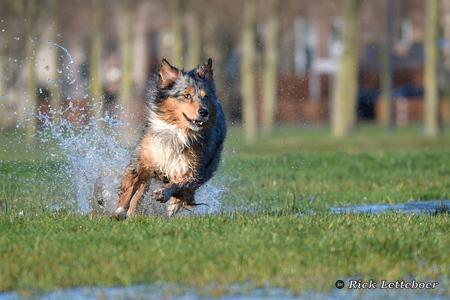 Flame racet door het natte gras - - - foto door Rianames op 17-01-2018 - deze foto bevat: water, hond, stoer, snelheid, aussie, australian shepherd, blue merle